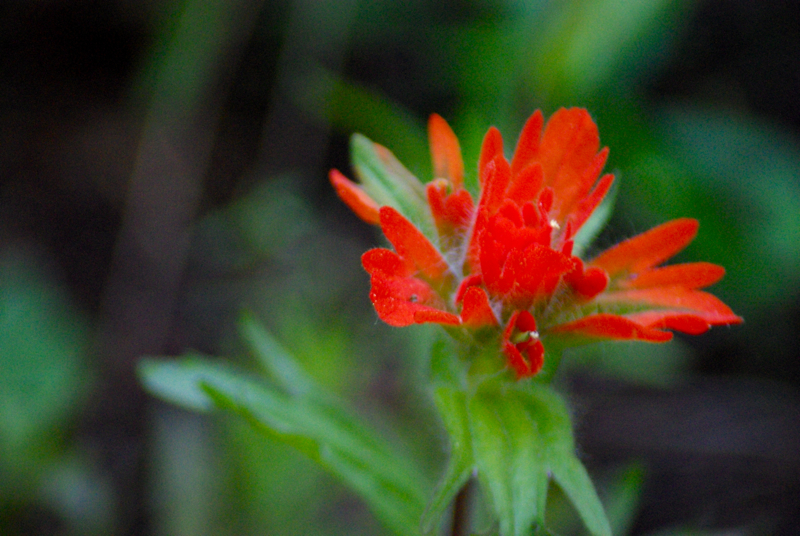 buckindianpaintbrush.jpg